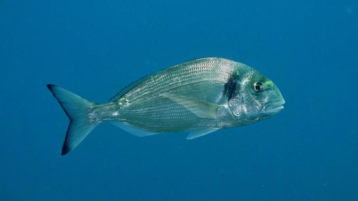 pez-dorada
