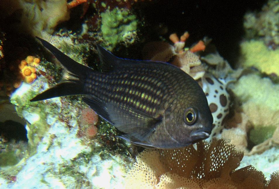 peces-castañuela