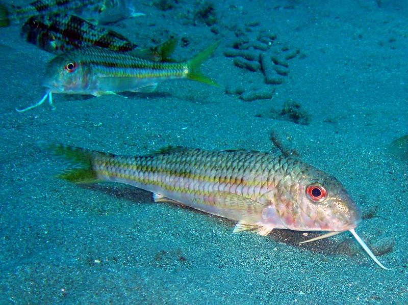 peces-salmonete