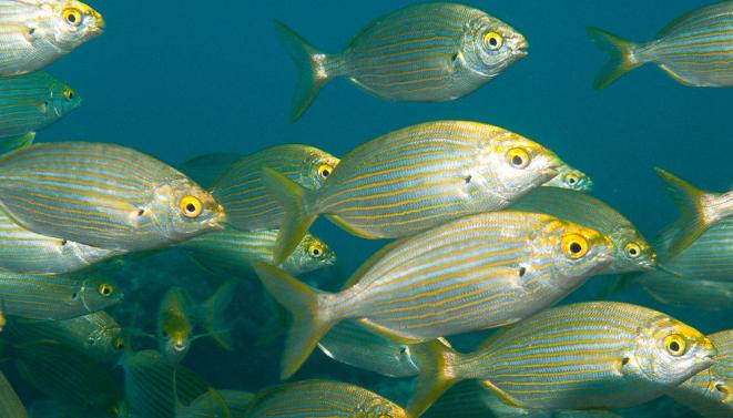 peces-salpa