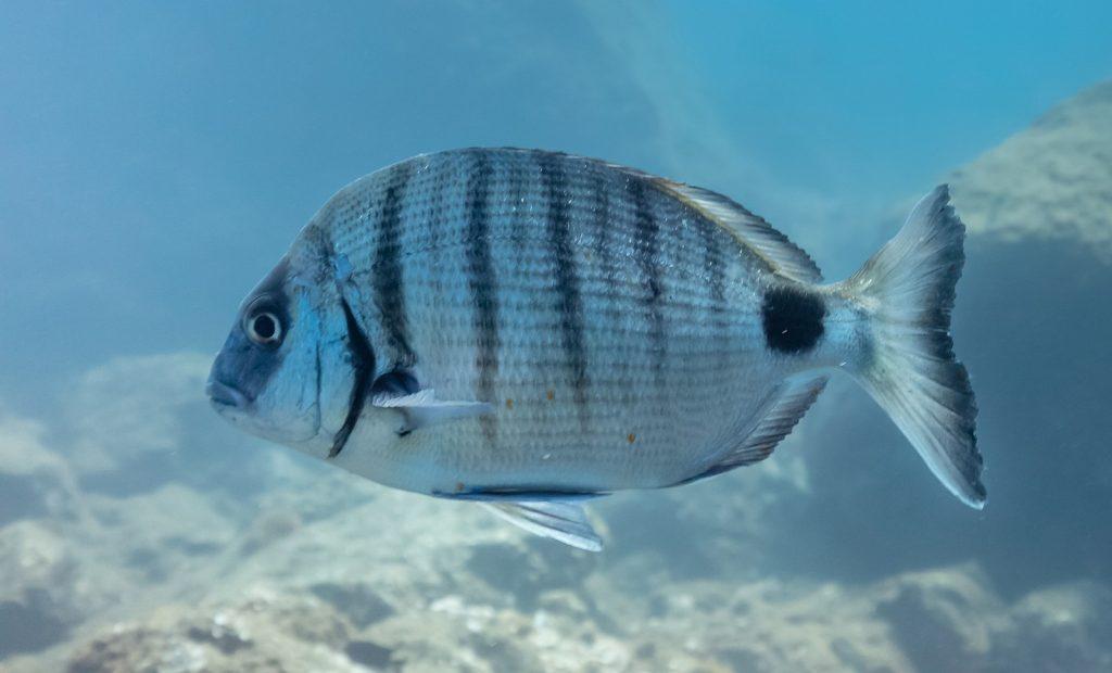 pez-sargo-peces-de-meonroca